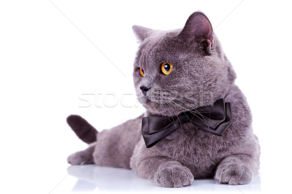 big english cat with a bow tie Stock photo © feedough