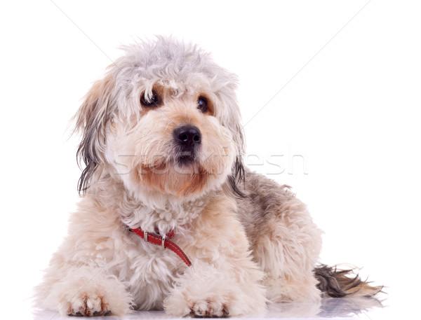 seated Bearded Collie Stock photo © feedough