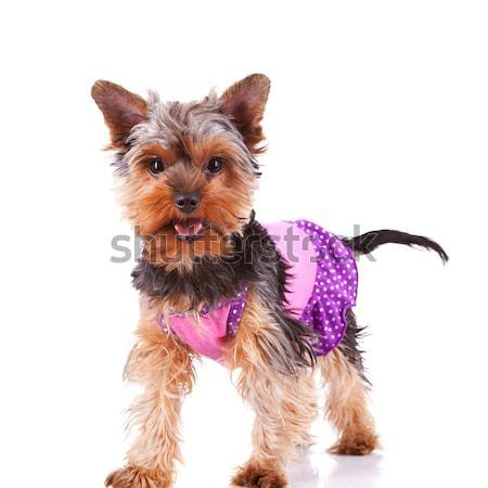 Йоркшир щенков собака Постоянный глядя Сток-фото © feedough