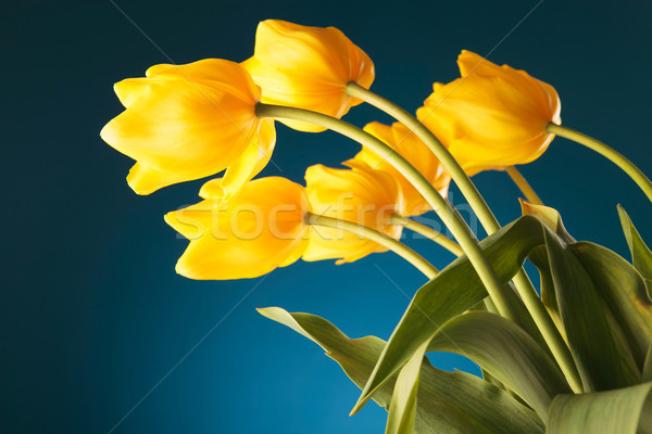 back of a gorgeous bouquet of yellow tulips Stock photo © feedough