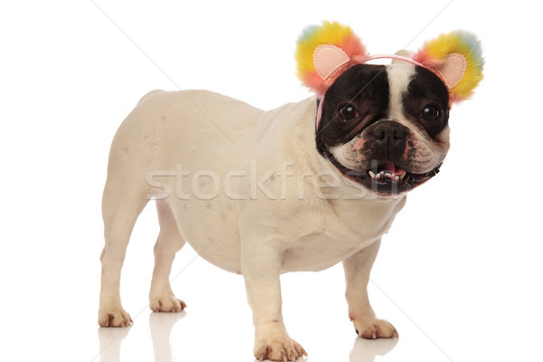 french bulldog is excited for his new headband Stock photo © feedough