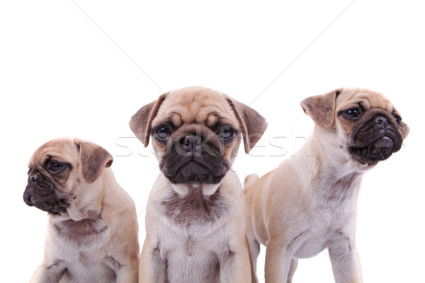 close up of adorable pug group of three Stock photo © feedough