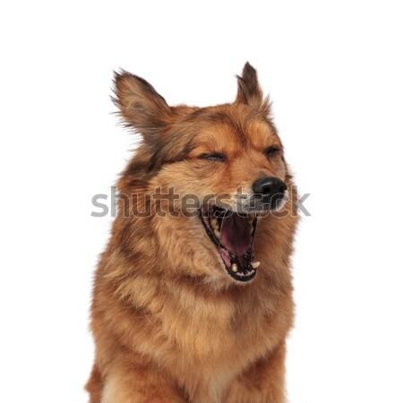 close up of tired brown metis dog yawning Stock photo © feedough