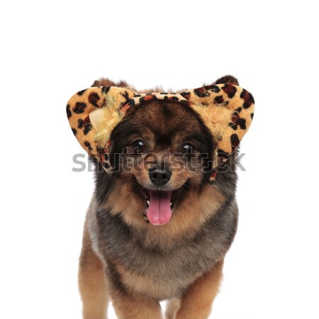cute pom with leopard print headband standing and panting Stock photo © feedough
