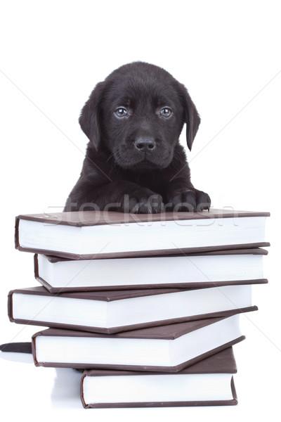 Akıllı küçük Labrador siyah laboratuvar köpek yavrusu Stok fotoğraf © feedough