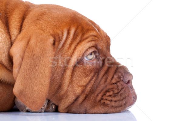 Somnolent chiot visage français mastiff Photo stock © feedough