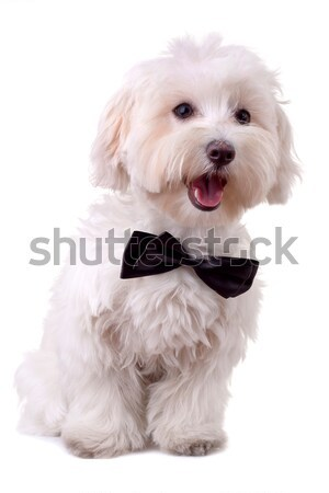 closeup picture of a funny bichon puppy with tongue exposed  Stock photo © feedough