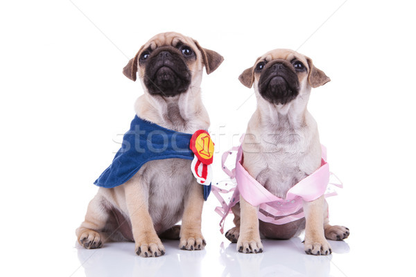 two cute pugs look up waiting for a halloween treat Stock photo © feedough