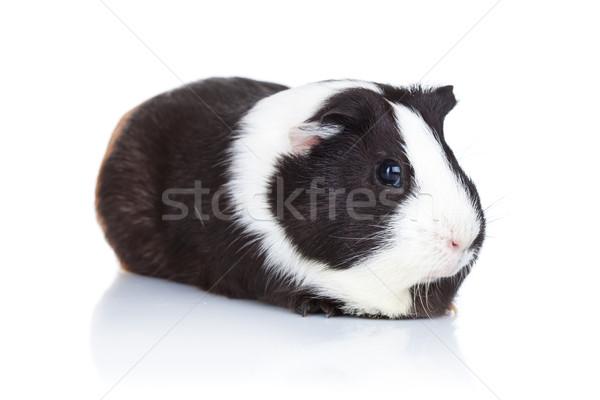 Stok fotoğraf: Sevimli · kobay · beyaz · fare · siyah · domuz