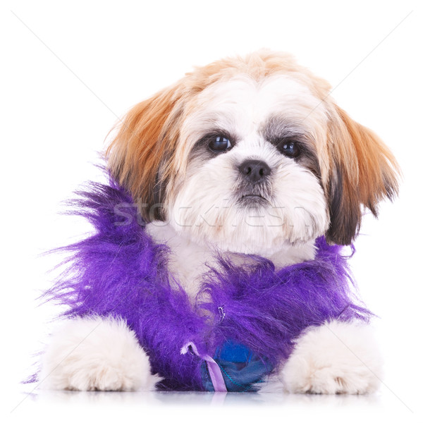 adorable dressed shih tzu puppy Stock photo © feedough