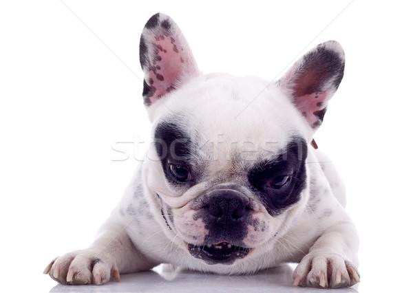Stockfoto: Frans · bulldog · maanden · witte · achtergrond · denken
