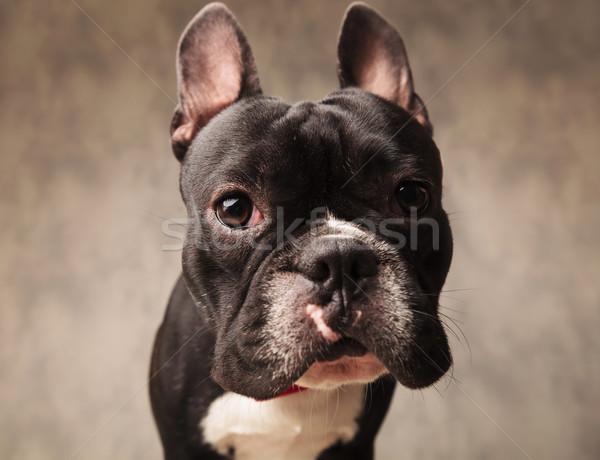 cute french bulldog puppy dog looking at the camera Stock photo © feedough