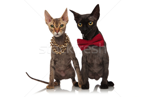 two adorable short haired cats wearing necklace and bowtie Stock photo © feedough