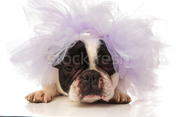 angry french bulldog is getting married Stock photo © feedough