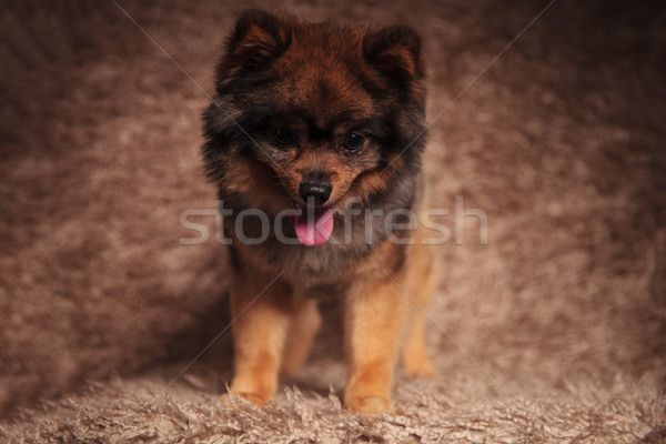 adorable pomeranian standing and panting looks down Stock photo © feedough