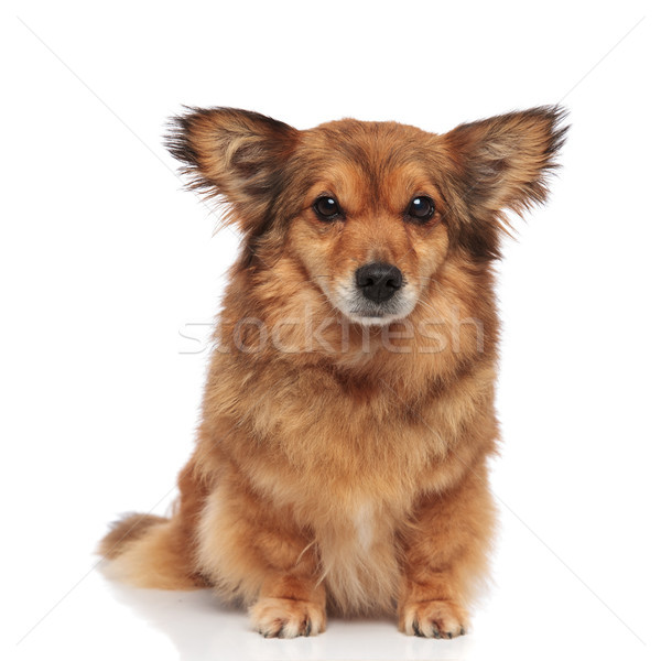 adorable brown metis dog with large ears Stock photo © feedough