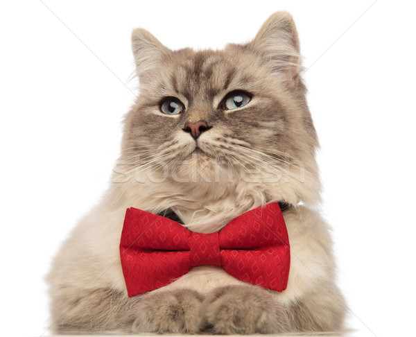 close up of cat with red bowtie looking to side Stock photo © feedough