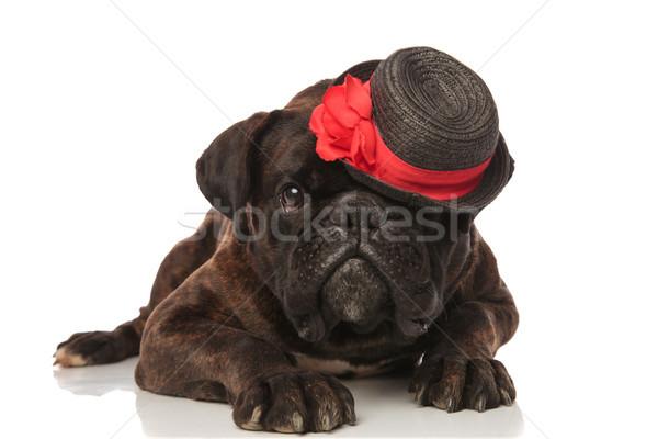adorable lying boxer with black hat sitting on eye Stock photo © feedough