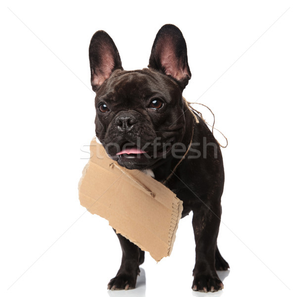 adorable homeless french bulldog wants to be adopted Stock photo © feedough