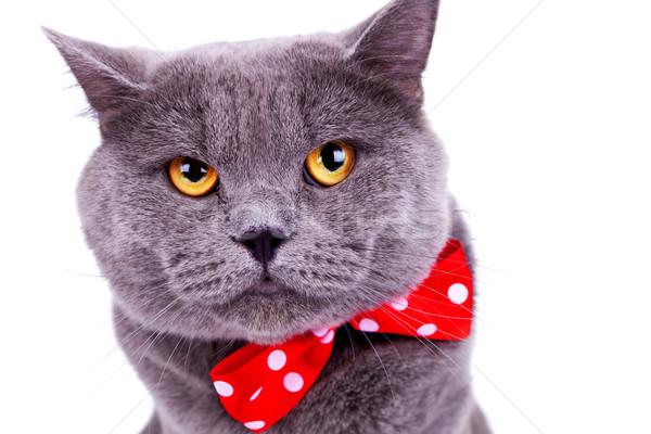 Nagy angol macska visel piros csokornyakkendő Stock fotó © feedough