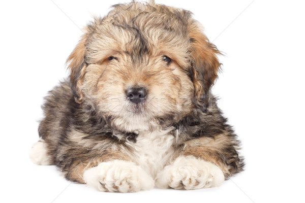 cute small puppy Stock photo © feedough