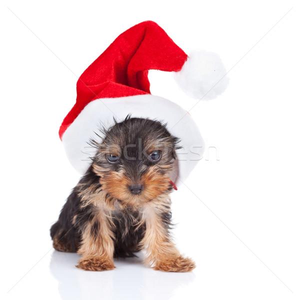 yorkie toy wearing a nice santa cap Stock photo © feedough