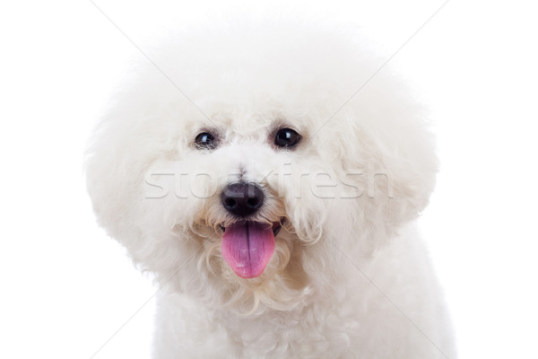 bichon frise puppy dog  Stock photo © feedough