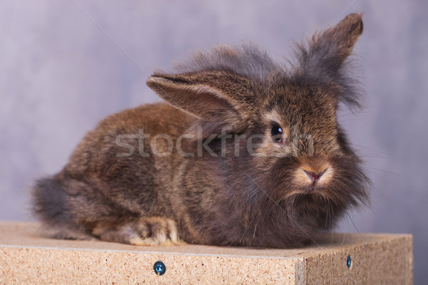 Adorable furry lion head rabbit bunny lying  Stock photo © feedough