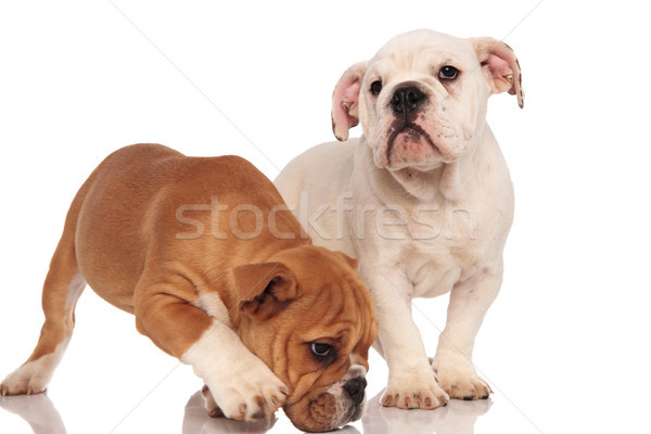 Curioso marrón Inglés bulldog cachorro hermanos Foto stock © feedough