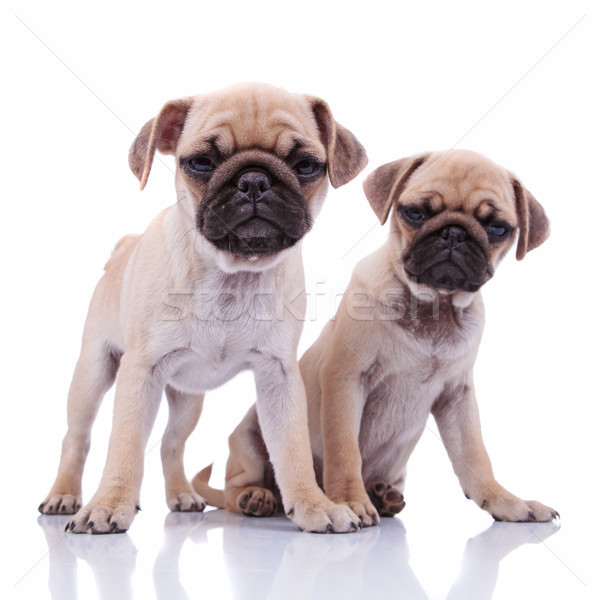 adorable curious  pug couple sitting together Stock photo © feedough