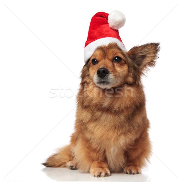 Сток-фото: прелестный · коричневая · собака · Cap · сторона