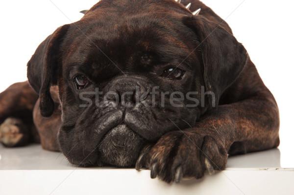 Kafa sevimli küçük sıkılmış siyah boksör Stok fotoğraf © feedough