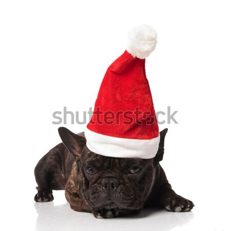 adorable lying boxer with santa hat looks to side Stock photo © feedough