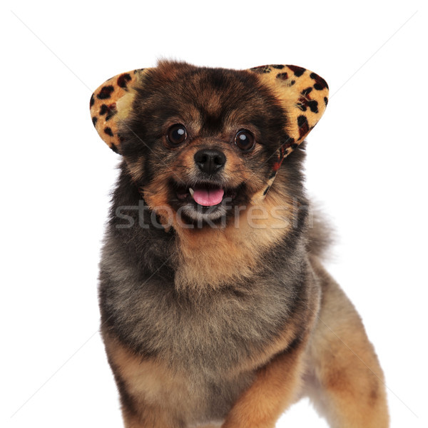 standing pom with leopard ears headband and tongue exposed Stock photo © feedough