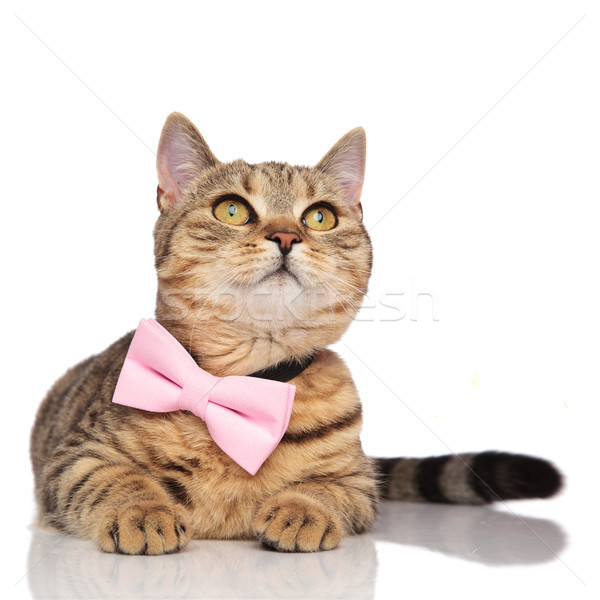 lying british fold with pink bowtie looking up to side Stock photo © feedough