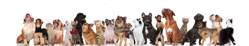 large group of mixed dogs and cats looking up Stock photo © feedough