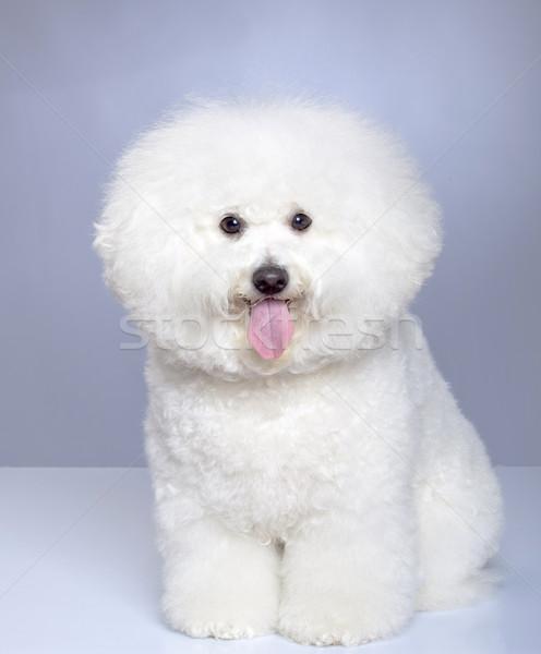 Bichon Frise puppy Stock photo © feedough