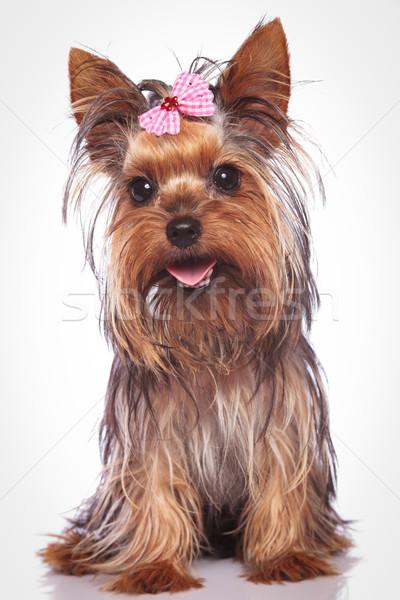 happy yorkshire terrier puppy dog sitting Stock photo © feedough