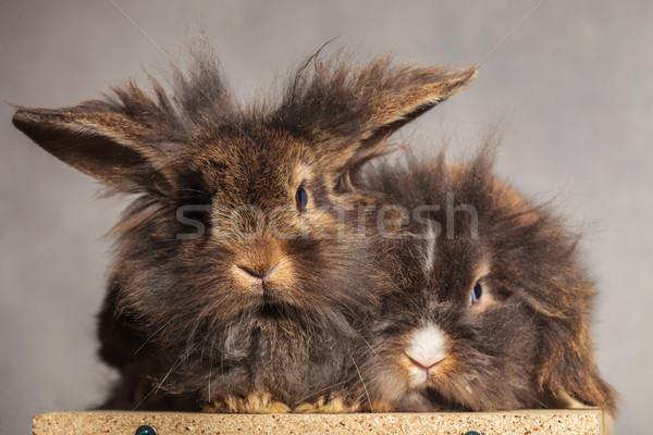 Furry lion head rabbit bunnys looking at the camera Stock photo © feedough