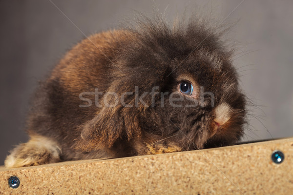 Cute lion head rabbit bunny lying on a wood box, Stock photo © feedough