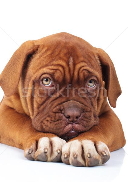sad little french mastiff puppy is being affraid of something  Stock photo © feedough