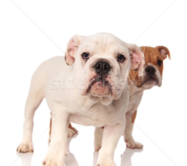 white english bulldog puppy standing in front of its brother  Stock photo © feedough