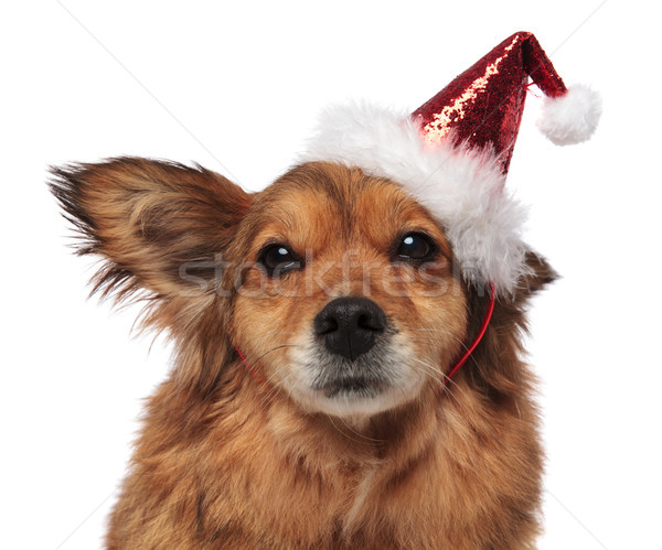 head of brown dog with santa cap and funny ear Stock photo © feedough