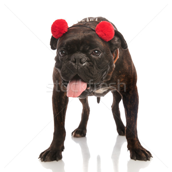 adorable boxer with red earmuffs standing and panting Stock photo © feedough