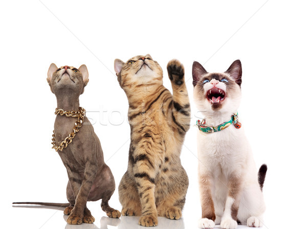three cute cats look up while sitting and standing Stock photo © feedough