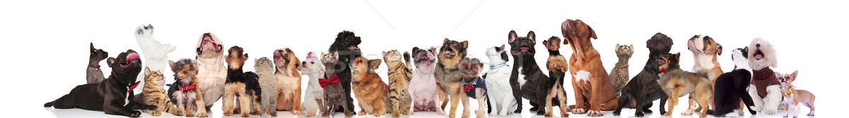 cute cats and dogs wearing bowties and collars look up Stock photo © feedough