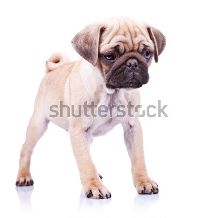 standing pug puppy dog looking to a side Stock photo © feedough