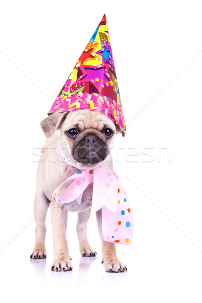 cute mops puppy dog ready for party Stock photo © feedough