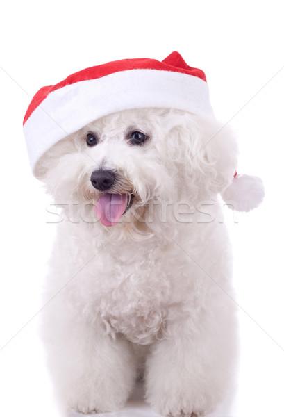 bichon frise wears santa hat  Stock photo © feedough