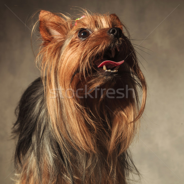 yorkie puppy dog with long coat standing with mouth open Stock photo © feedough